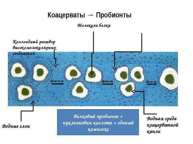 Коацерваты → Пробионты Молекулы липидов создали примитивную мембрану Ионы ме...