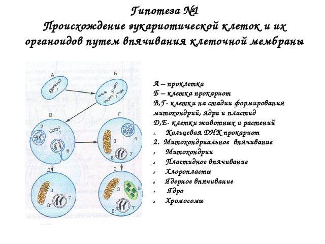 Гипотеза №1 Происхождение эукариотической клеток и их органоидов путем впячив...