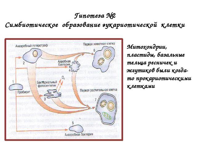 Гипотеза №2 Симбиотическое образование эукариотической клетки Митохондрии, п...