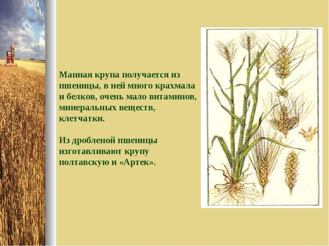 Манная крупа получается из пшеницы, в ней много крахмала и белков, очень мало...
