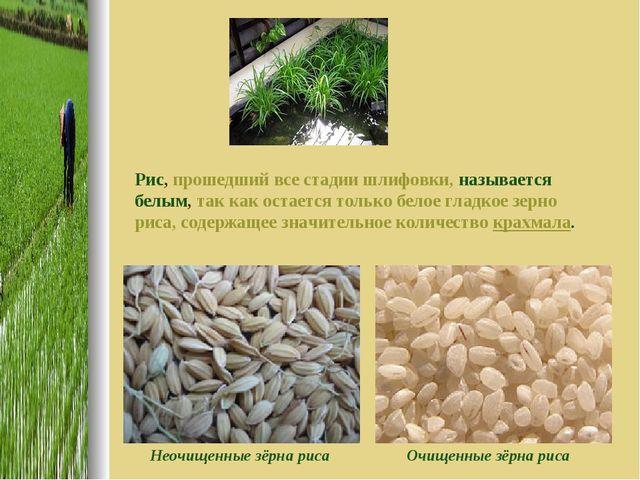 Рис, прошедший все стадии шлифовки, называется белым, так как остается только...