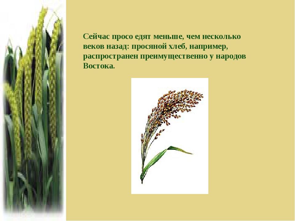 Сейчас просо едят меньше, чем несколько веков назад: просяной хлеб, например,...