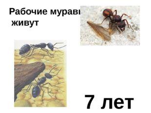 Рабочие муравьи живут 7 лет