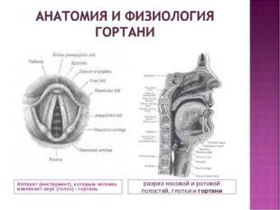Аппарат (инструмент), которым человек извлекает звук (голос) - гортань разрез
