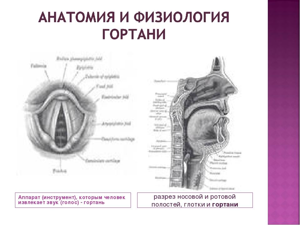 Аппарат (инструмент), которым человек извлекает звук (голос) - гортань разрез...