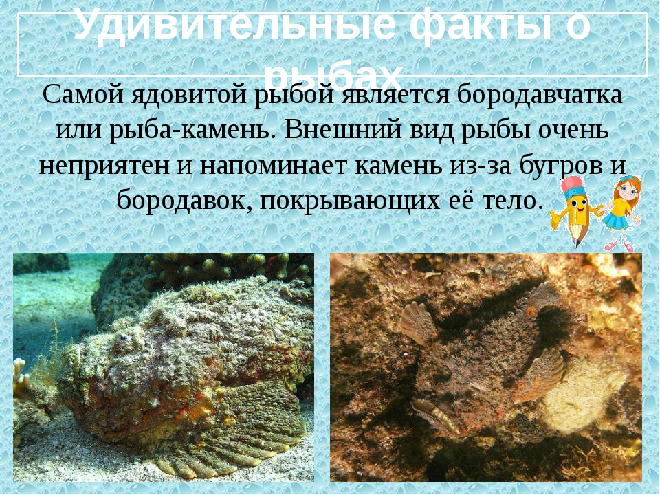 Удивительные факты о рыбах Самой ядовитой рыбой является бородавчатка или ры...