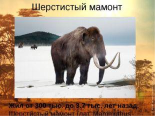 Шерстистый мамонт Жил от 300 тыс. до 3.7 тыс. лет назад. Шерстистый мамонт (л