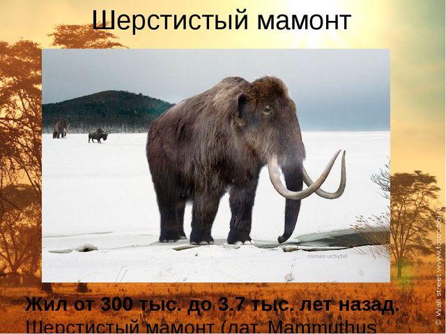 Шерстистый мамонт Жил от 300 тыс. до 3.7 тыс. лет назад. Шерстистый мамонт (л...