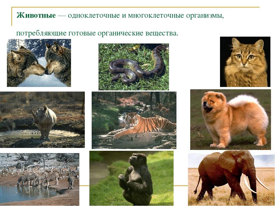 Животные — одноклеточные и многоклеточные организмы, потребляющие готовые орг...
