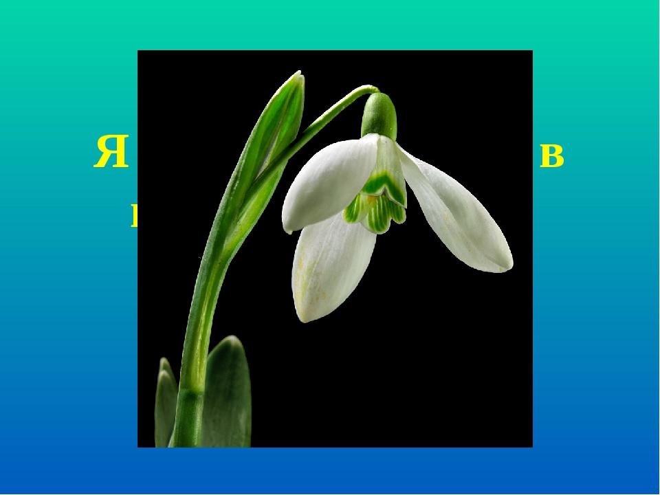 Я найперша квітка в гаю, синім цвітом зацвітаю