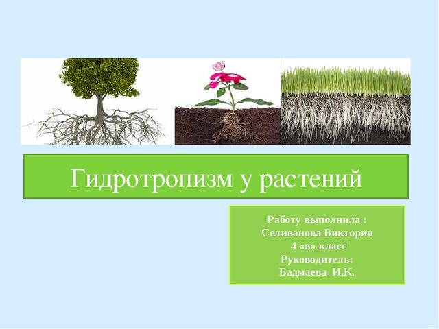 Гидротропизм у растений Работу выполнила : Селиванова Виктория 4 «в» класс Ру...