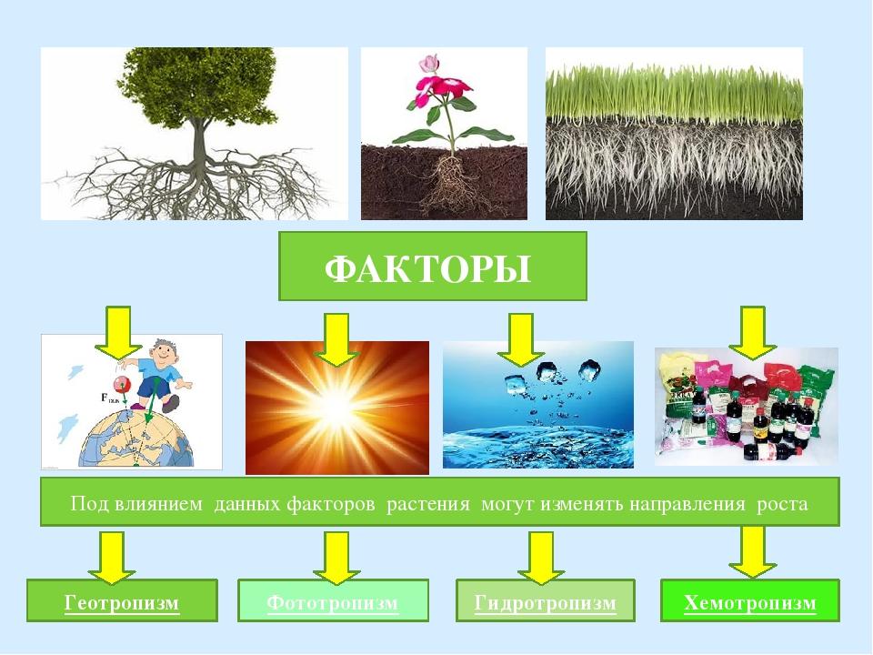 ФАКТОРЫ Под влиянием данных факторов растения могут изменять направления рост...