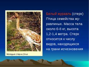 Белый журавль (стерх) Птица семейства жу- равлиных. Масса тела около 6-8 кг,