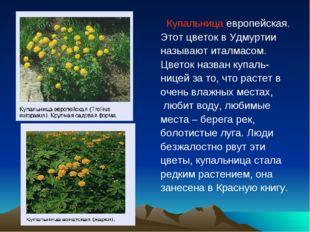 Купальница европейская. Этот цветок в Удмуртии называют италмасом. Цветок на