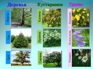 Деревья Кустарники Береза Ель Колокольчик Одуванчик Ромашка Дуб Бузина Калина