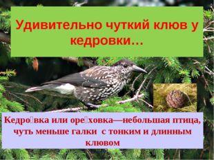 Удивительно чуткий клюв у кедровки… Кедро́вка или оре́ховка—небольшая птица,