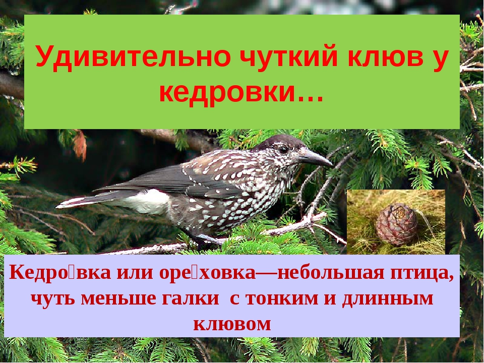 Удивительно чуткий клюв у кедровки… Кедро́вка или оре́ховка—небольшая птица,...