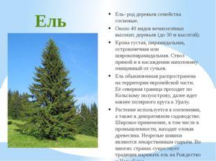 Ель Ель- род деревьев семейства сосновые. Около 40 видов вечнозелёных высоких