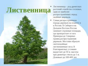 Лиственница Лиственница – род древесных растений семейства сосновые, один из