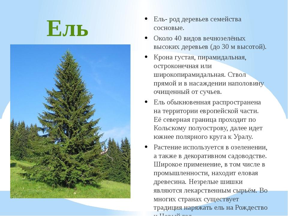 Ель Ель- род деревьев семейства сосновые. Около 40 видов вечнозелёных высоких...