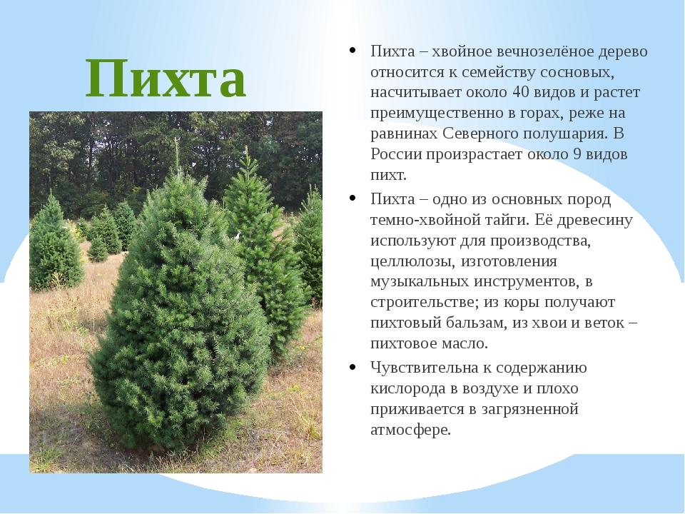 Пихта Пихта – хвойное вечнозелёное дерево относится к семейству сосновых, нас...