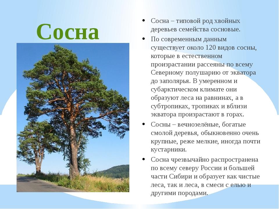 Сосна Сосна – типовой род хвойных деревьев семейства сосновые. По современным...