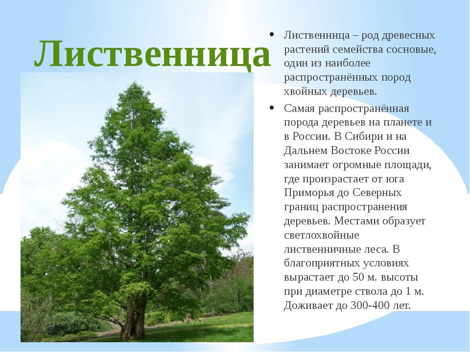 Лиственница Лиственница – род древесных растений семейства сосновые, один из...