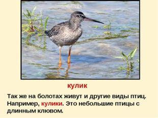 кулик Так же на болотах живут и другие виды птиц. Например, кулики. Это небол