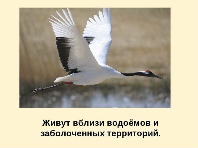 Живут вблизи водоёмов и заболоченных территорий.