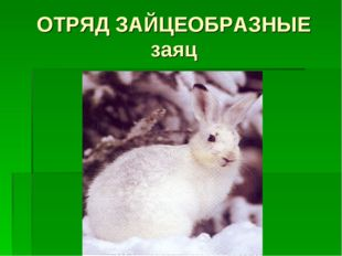 ОТРЯД ЗАЙЦЕОБРАЗНЫЕ заяц
