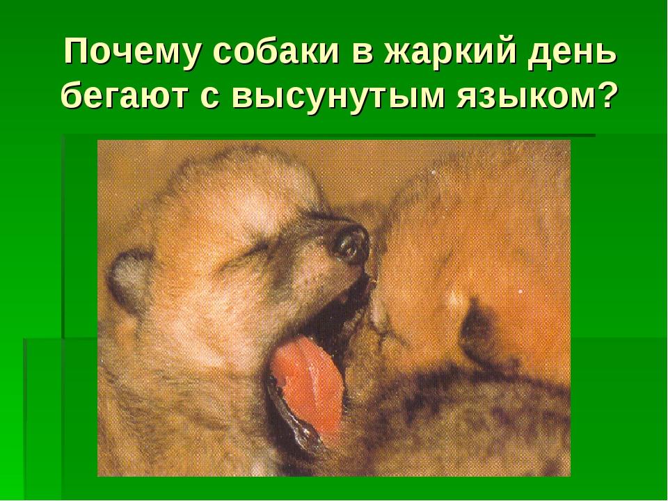 Почему собаки в жаркий день бегают с высунутым языком?