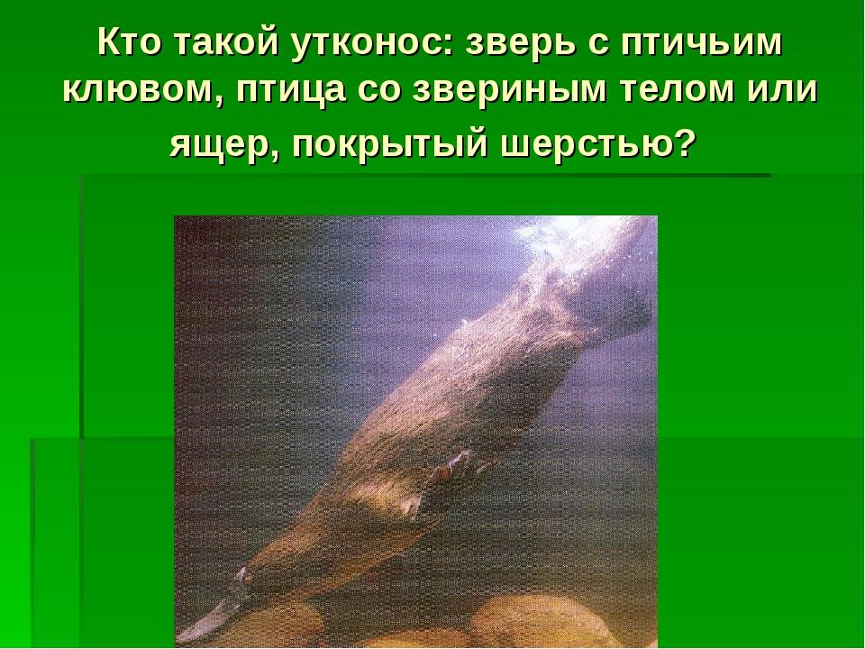 Кто такой утконос: зверь с птичьим клювом, птица со звериным телом или ящер,...