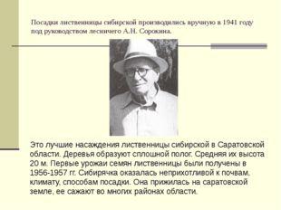 Посадки лиственницы сибирской производились вручную в 1941 году под руководст