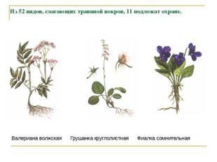 Из 52 видов, слагающих травяной покров, 11 подлежат охране. Валериана волжска