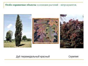 Особо охраняемые объекты: коллекция растений – интродуцентов. Дуб пирамидальн