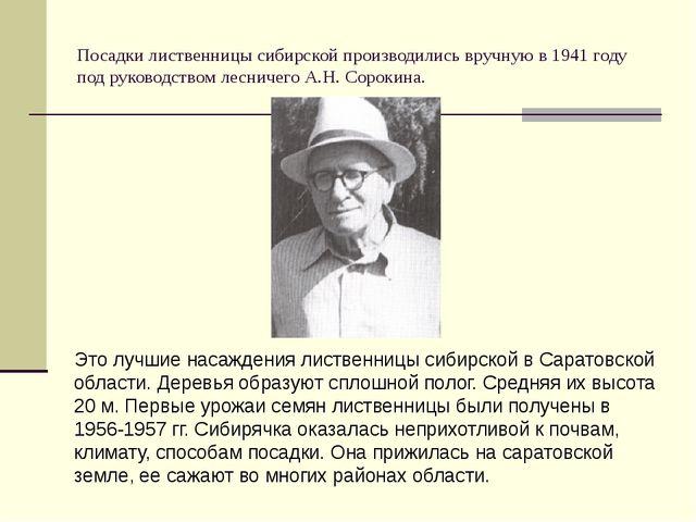 Посадки лиственницы сибирской производились вручную в 1941 году под руководст...