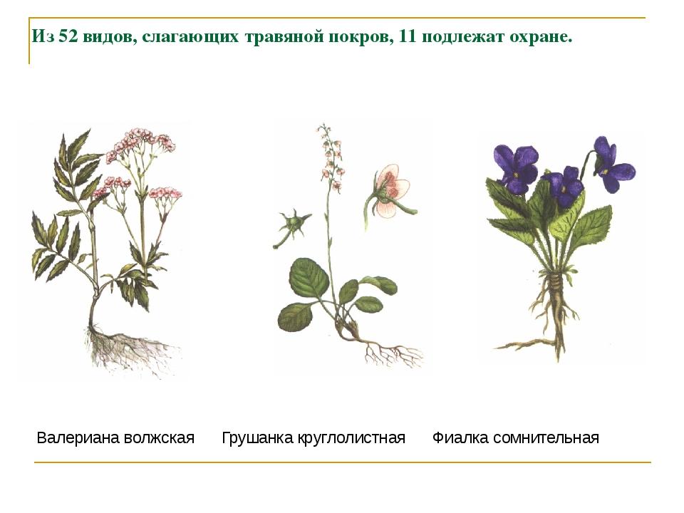 Из 52 видов, слагающих травяной покров, 11 подлежат охране. Валериана волжска...