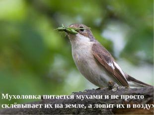 Мухоловка питается мухами и не просто склёвывает их на земле, а ловит их в во
