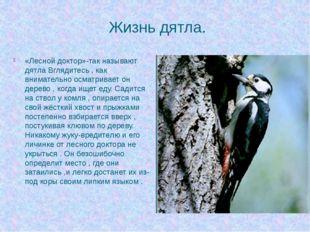 Жизнь дятла. «Лесной доктор»-так называют дятла Вглядитесь , как внимательно