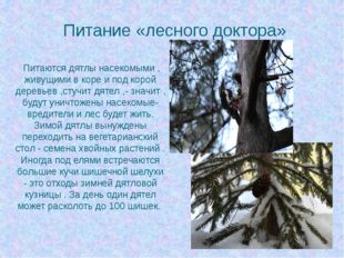 Питание «лесного доктора» Питаются дятлы насекомыми , живущими в коре и под к