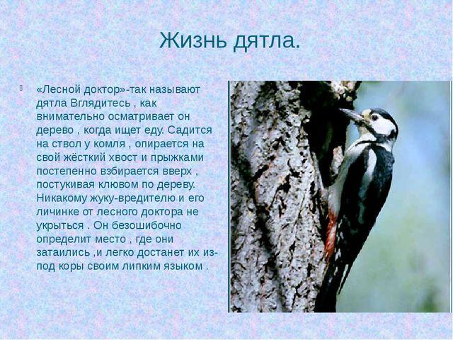 Жизнь дятла. «Лесной доктор»-так называют дятла Вглядитесь , как внимательно...