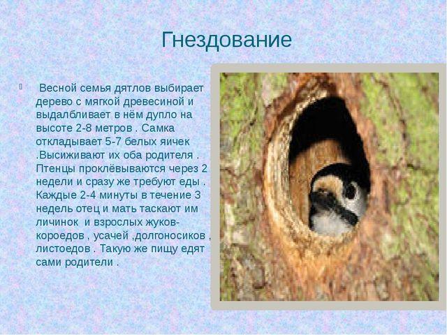 Гнездование Весной семья дятлов выбирает дерево с мягкой древесиной и выдалбл...