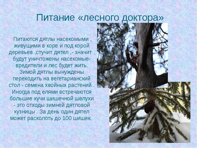 Питание «лесного доктора» Питаются дятлы насекомыми , живущими в коре и под к...