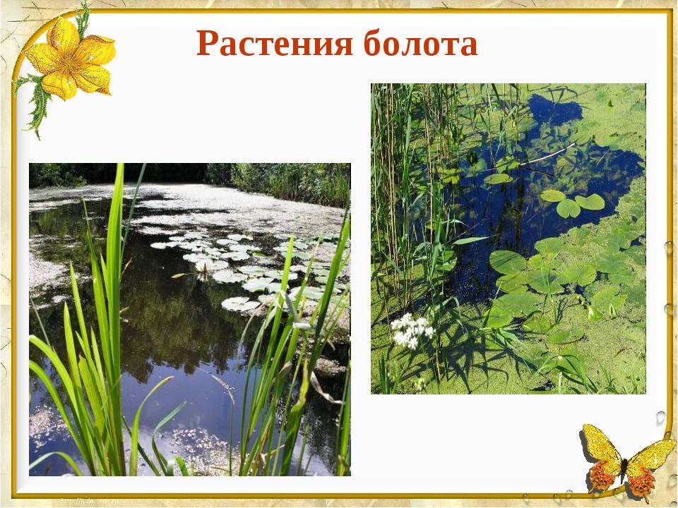 Растения болота