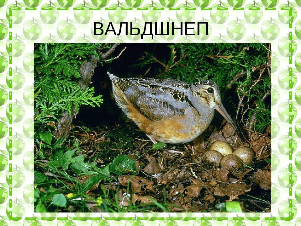 ВАЛЬДШНЕП