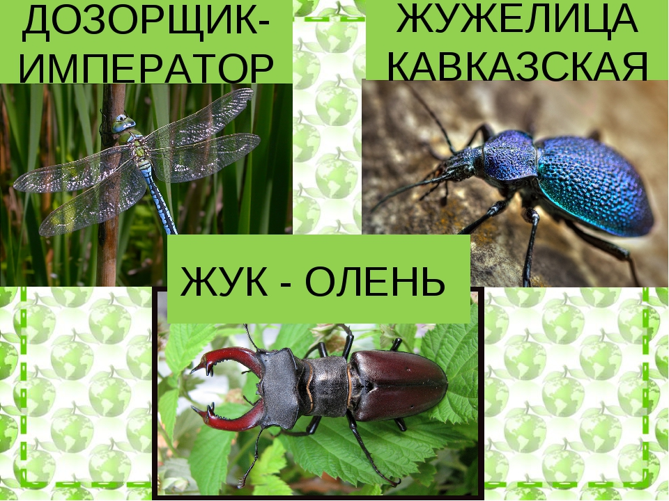 ДОЗОРЩИК-ИМПЕРАТОР ЖУЖЕЛИЦА КАВКАЗСКАЯ ЖУК - ОЛЕНЬ