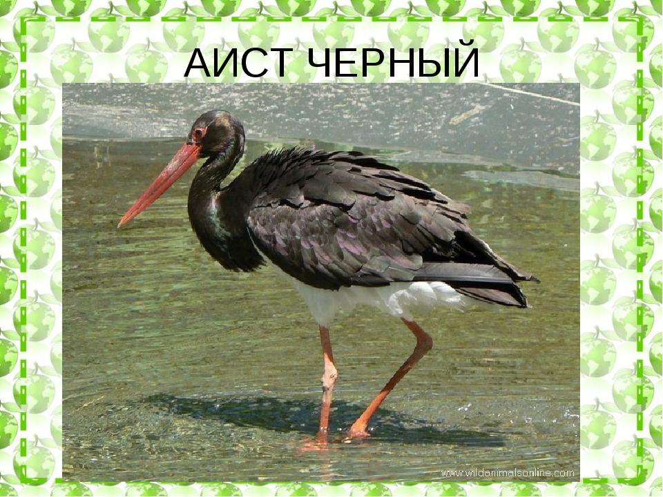 АИСТ ЧЕРНЫЙ