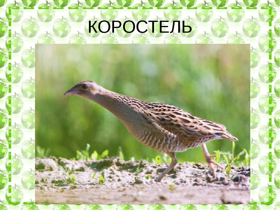 КОРОСТЕЛЬ
