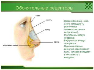 Обонятельные рецепторы Орган обоняния – нос. С его помощью ты различаешь запа