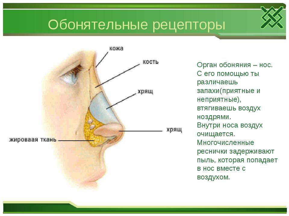 Обонятельные рецепторы Орган обоняния – нос. С его помощью ты различаешь запа...
